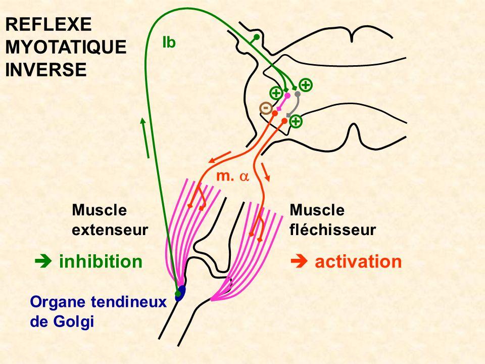 REFLEXE MYOTATIQUE INVERSE  inhibition  activation Ib + + - + m. a