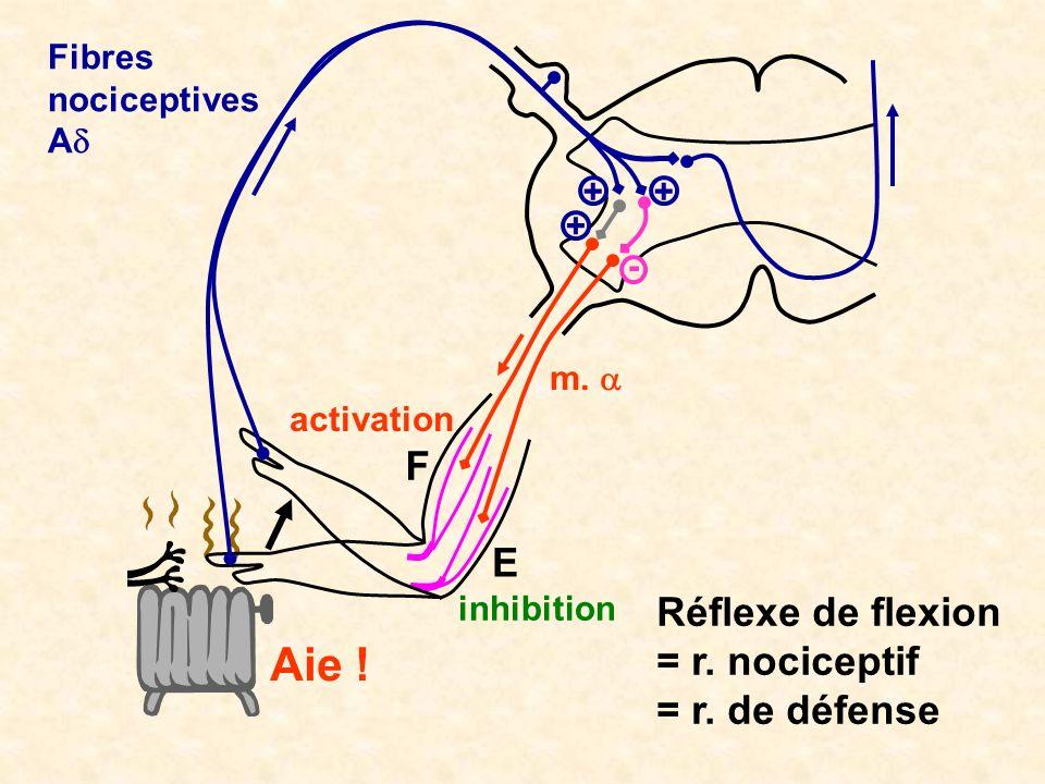 Aie ! F E Réflexe de flexion = r. nociceptif = r. de défense