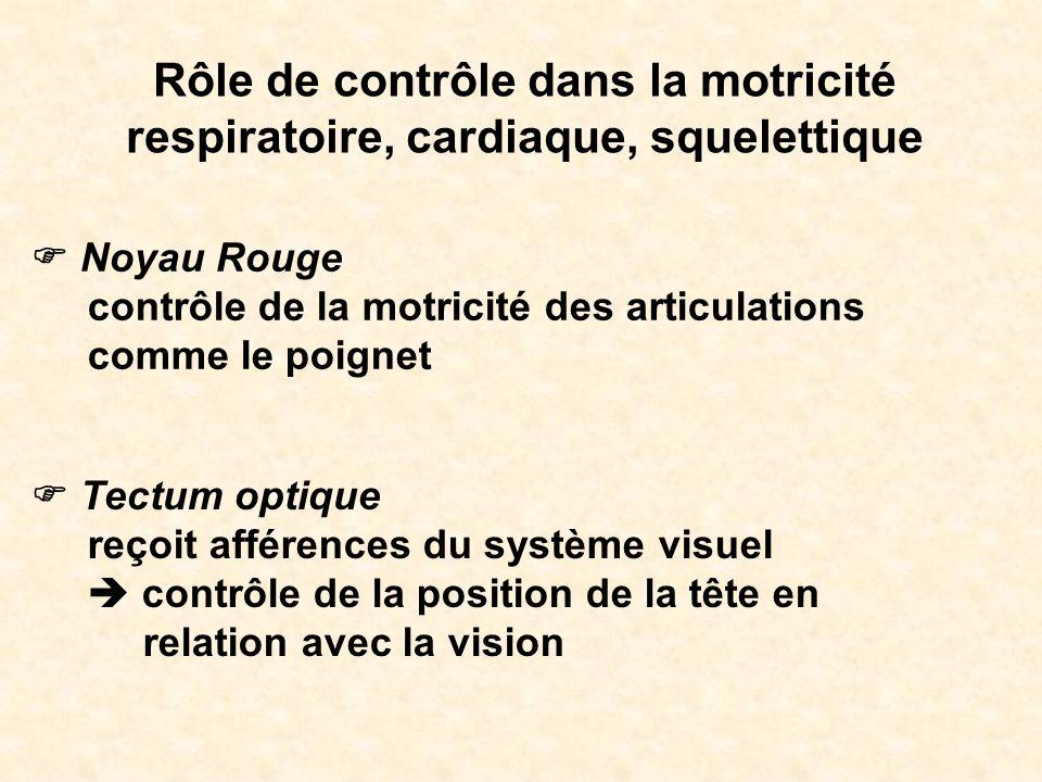 Rôle de contrôle dans la motricité respiratoire, cardiaque, squelettique