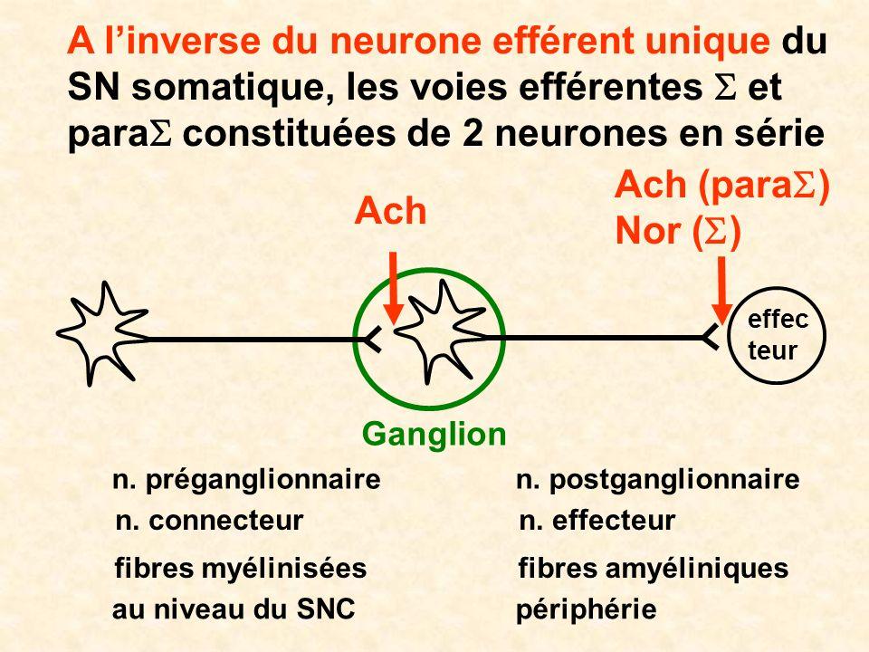 A l'inverse du neurone efférent unique du SN somatique, les voies efférentes S et paraS constituées de 2 neurones en série