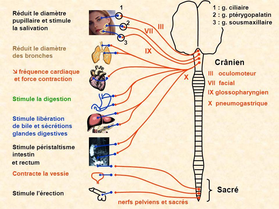 Crânien Sacré III VII IX X 1 1 : g. ciliaire 2 : g. ptérygopalatin