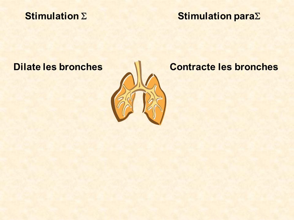Stimulation S Stimulation paraS Dilate les bronches Contracte les bronches