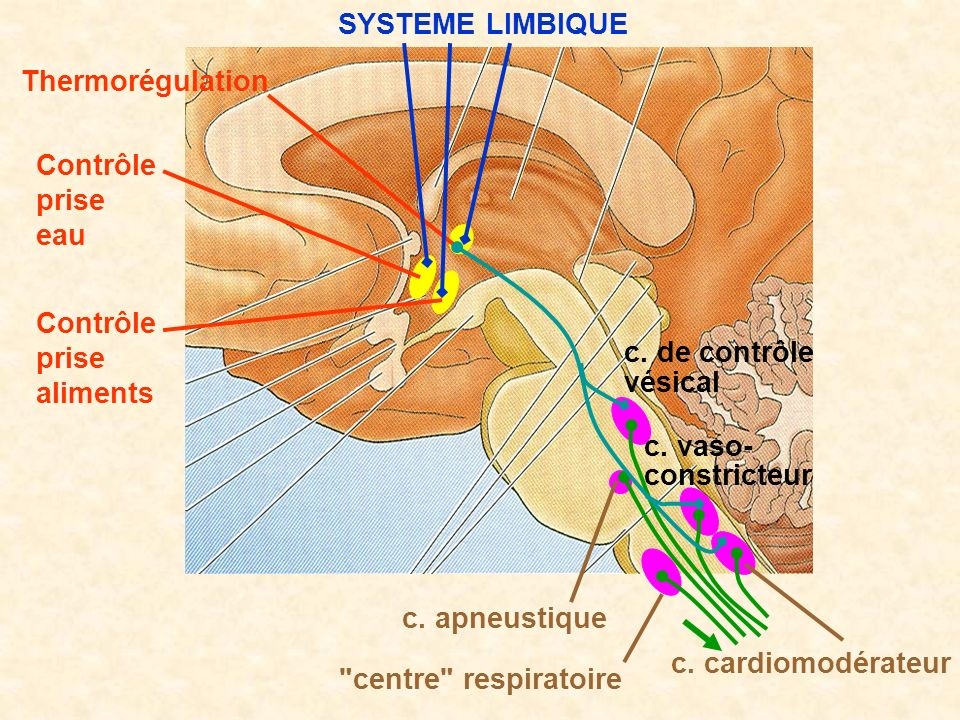 SYSTEME LIMBIQUE Thermorégulation. Contrôle prise eau. Contrôle prise aliments. c. de contrôle vésical.