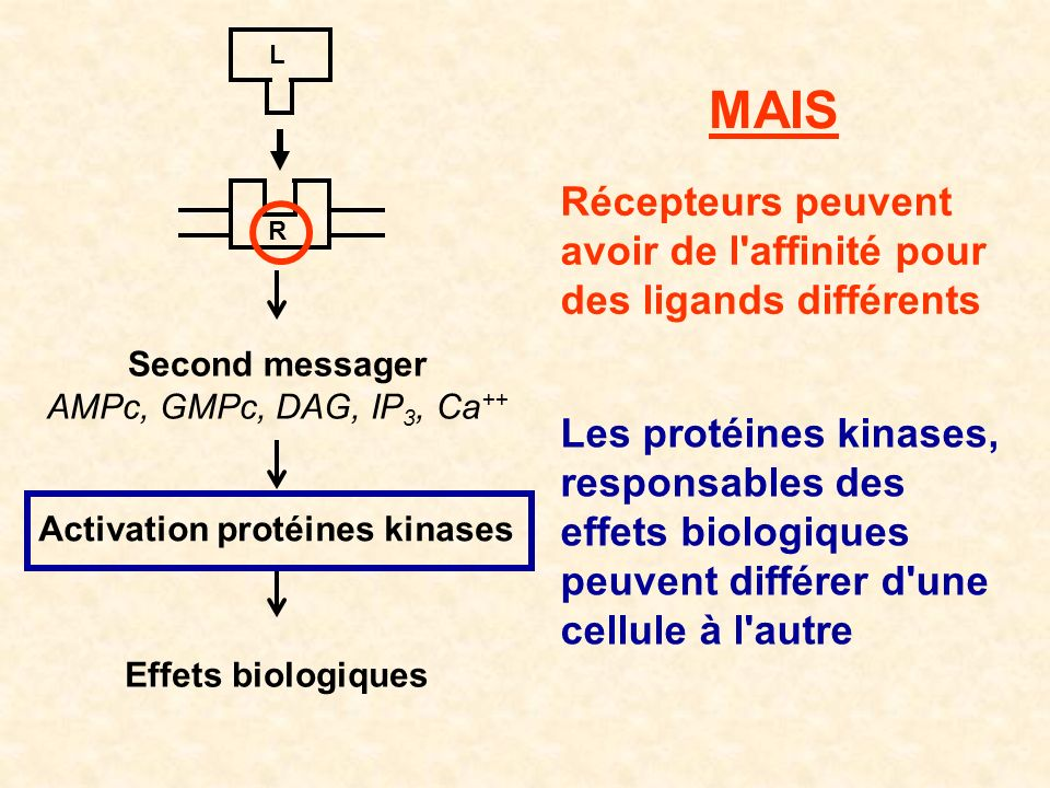 Activation protéines kinases