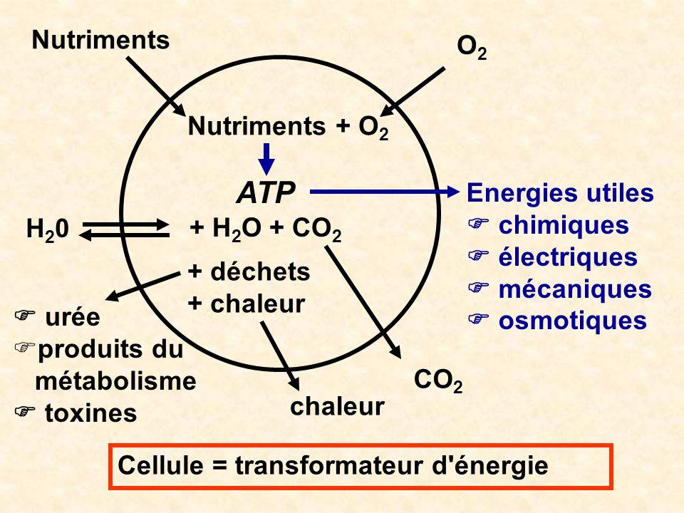 ATP Nutriments O2 Nutriments + O2 Energies utiles + H2O + CO2