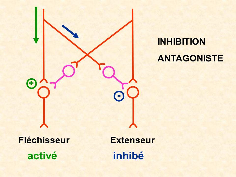 INHIBITION ANTAGONISTE + - Fléchisseur Extenseur activé inhibé
