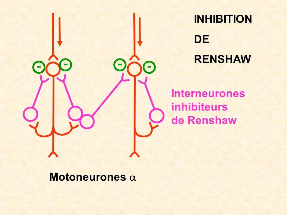 - - - - INHIBITION DE RENSHAW Interneurones inhibiteurs de Renshaw