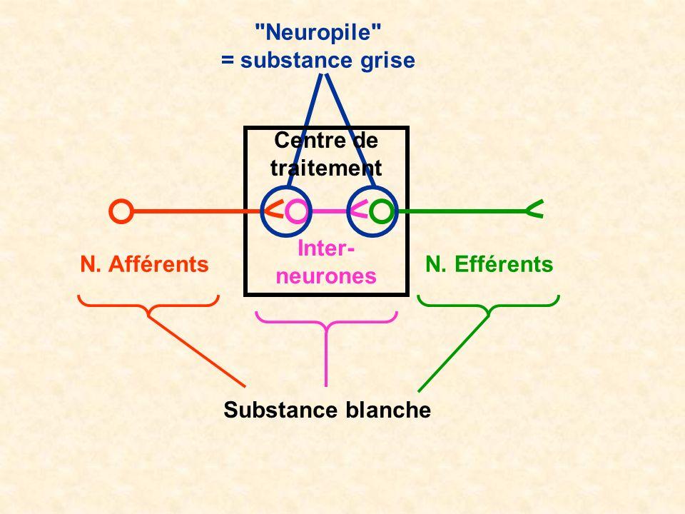 Neuropile = substance grise. Centre de traitement. Inter-neurones. N. Afférents. N. Efférents.