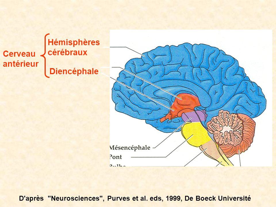 Hémisphères cérébraux Cerveau antérieur