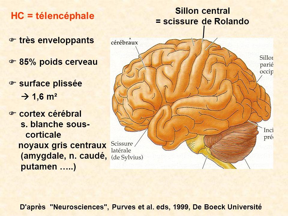 HC = télencéphale Sillon central = scissure de Rolando