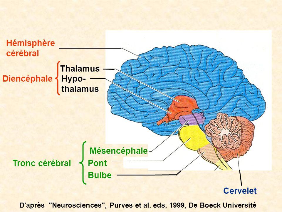 Hémisphère cérébral Thalamus Diencéphale Hypo- thalamus Mésencéphale