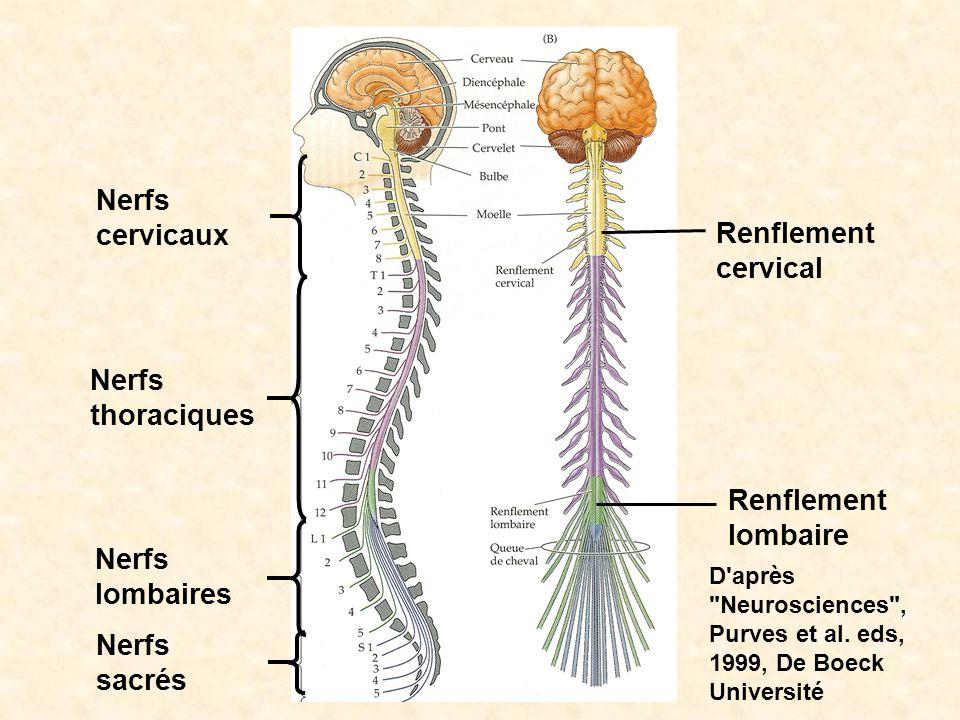 Nerfs cervicaux Renflementcervical Nerfs thoraciques