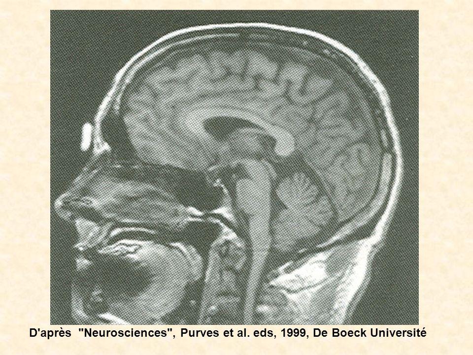 D après Neurosciences , Purves et al. eds, 1999, De Boeck Université