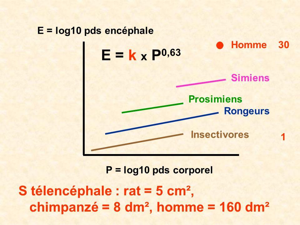 E = k x P0,63 S télencéphale : rat = 5 cm²,