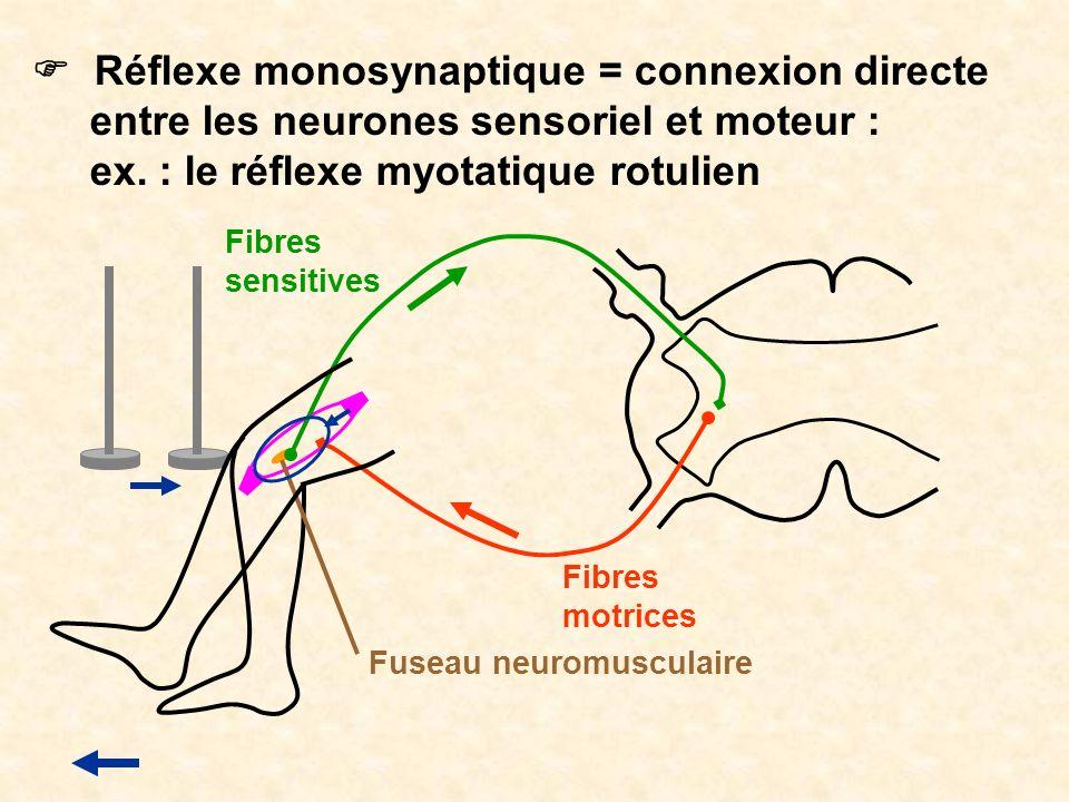 F Réflexe monosynaptique = connexion directe