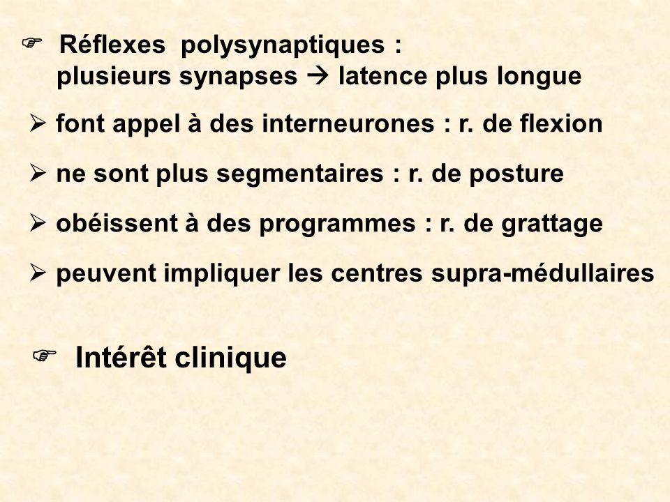 F Intérêt clinique F Réflexes polysynaptiques :
