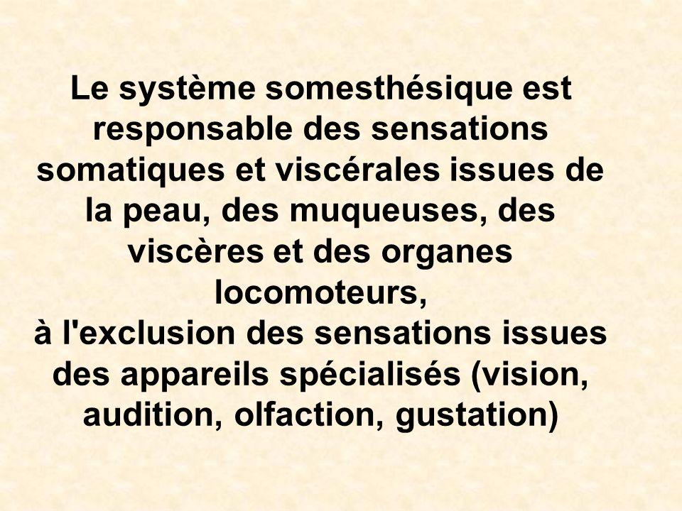 Le système somesthésique est responsable des sensations somatiques et viscérales issues de la peau, des muqueuses, des viscères et des organes locomoteurs,