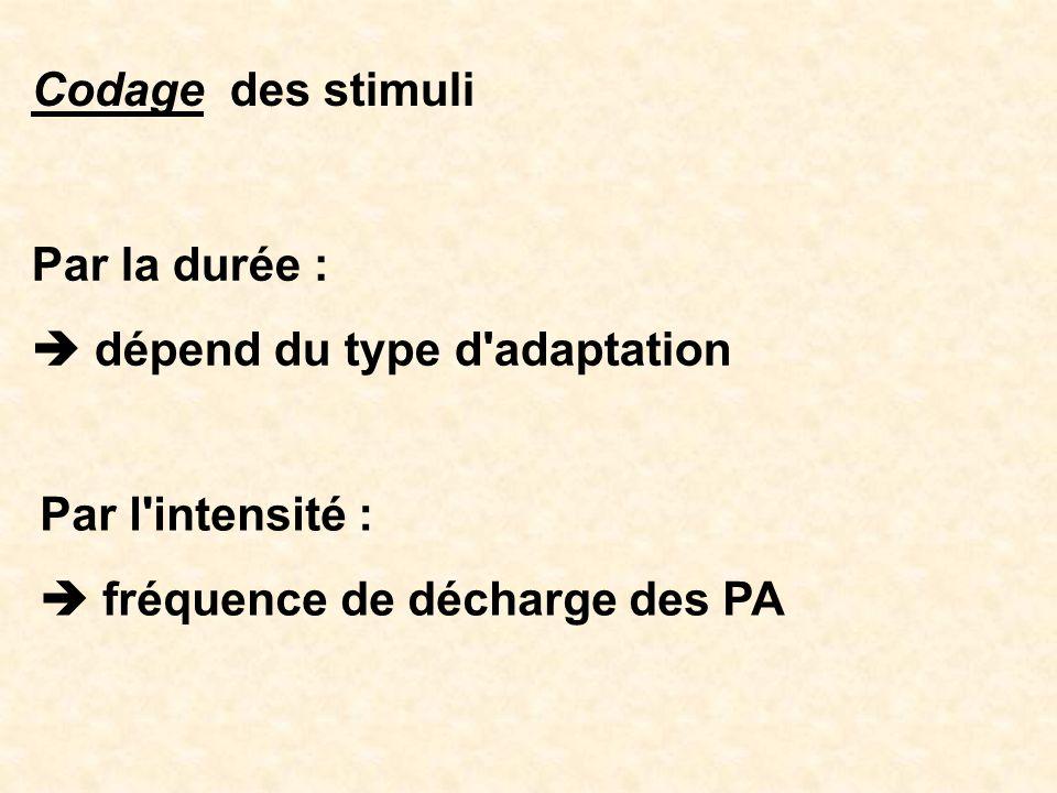 Codage des stimuli Par la durée :  dépend du type d adaptation.