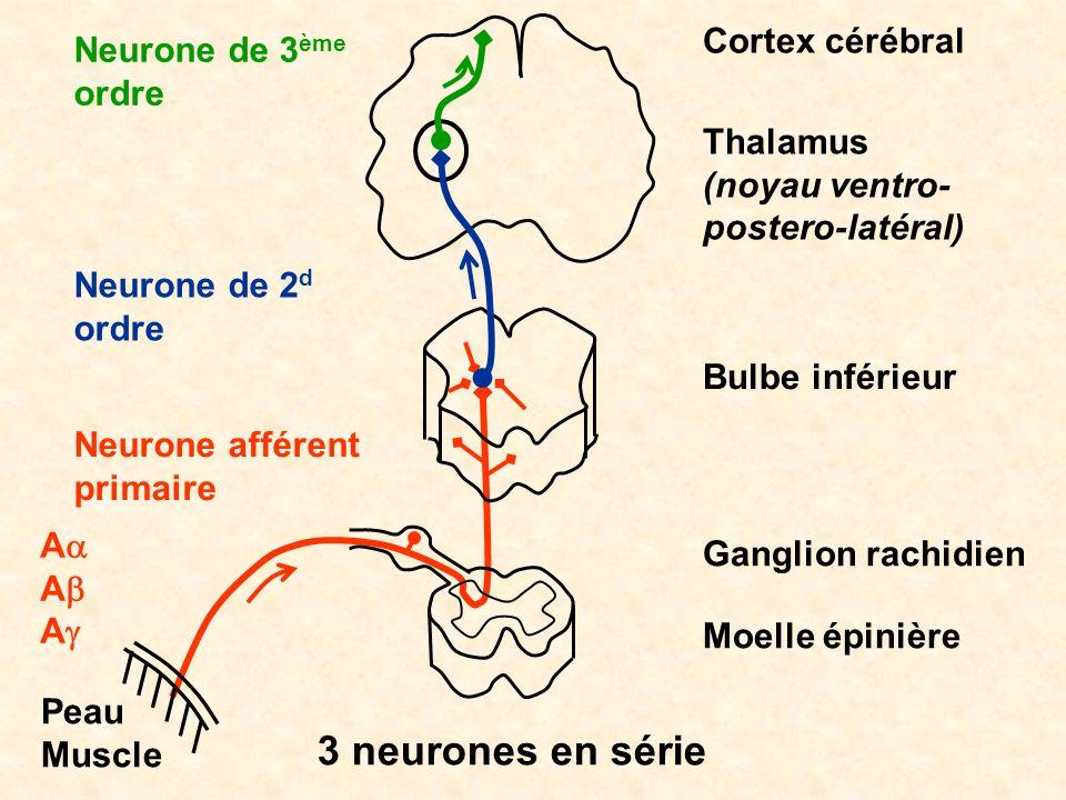 3 neurones en série Cortex cérébral Neurone de 3ème ordre Thalamus