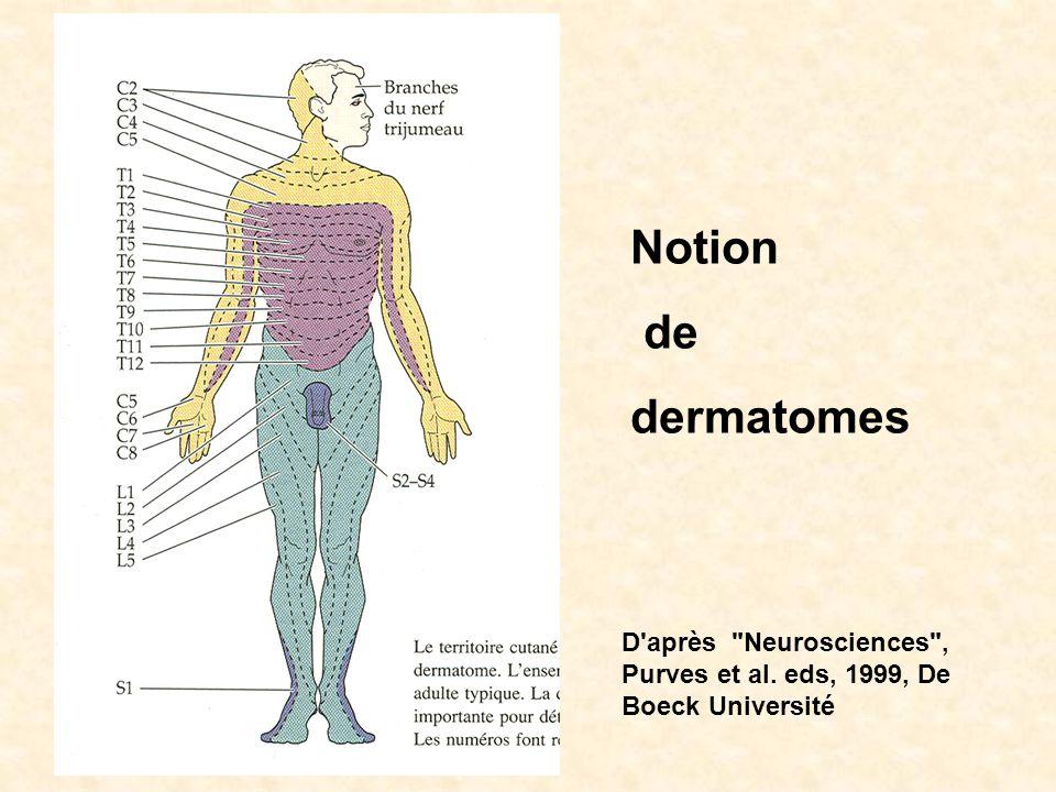 Notion de dermatomes D après Neurosciences , Purves et al. eds, 1999, De Boeck Université