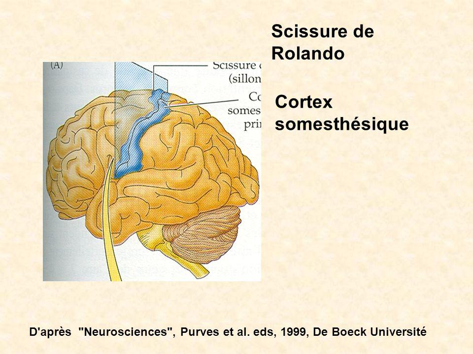 Scissure de Rolando Cortex somesthésique