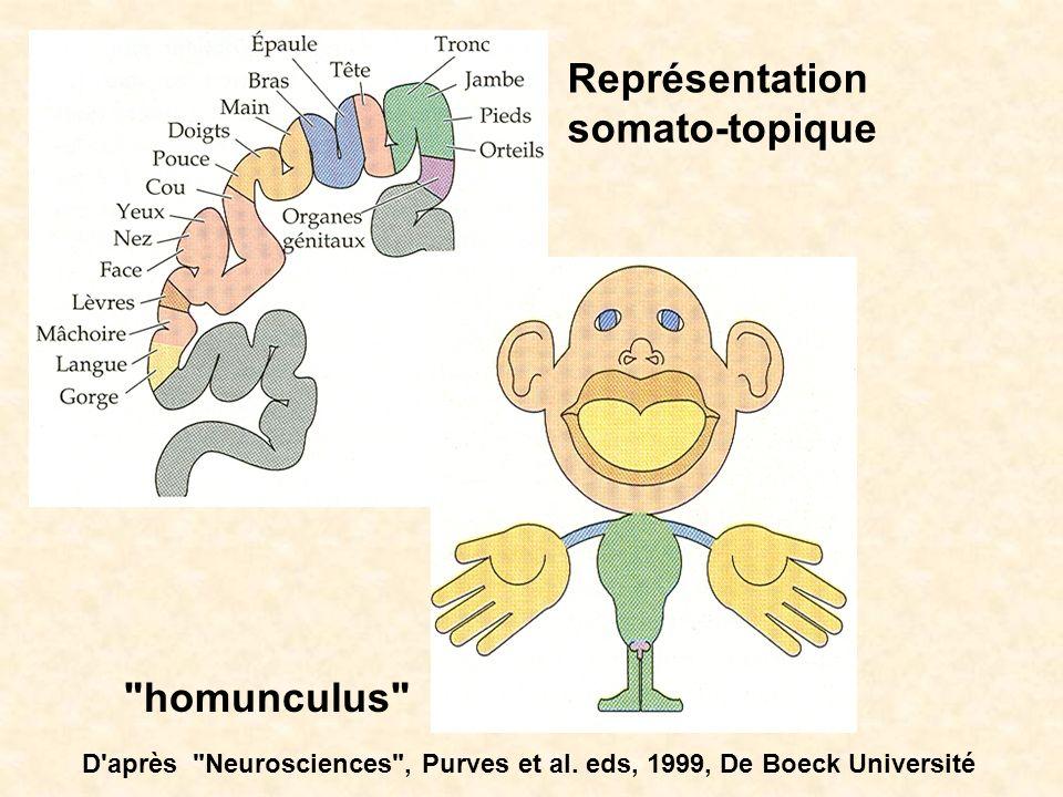 Représentation somato-topique