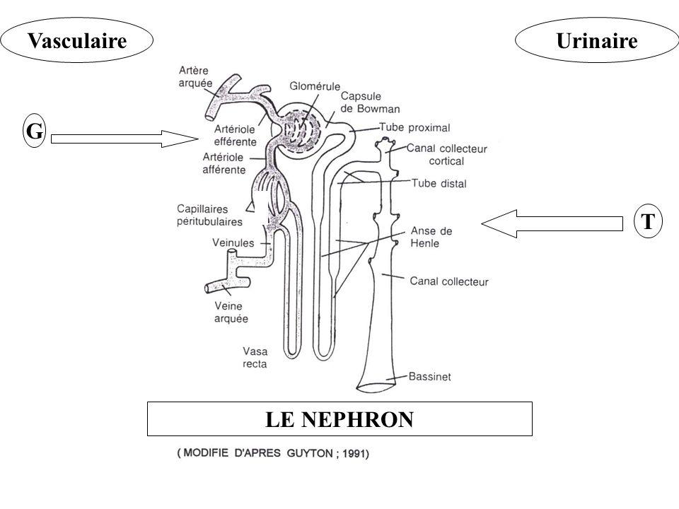 Vasculaire Urinaire G T LE NEPHRON