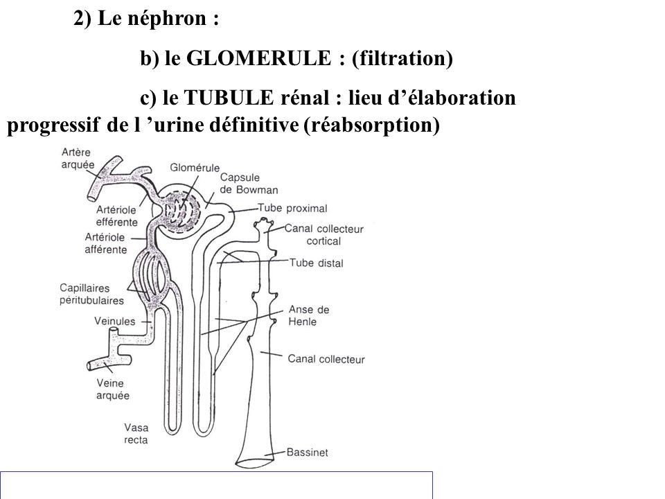2) Le néphron : b) le GLOMERULE : (filtration) c) le TUBULE rénal : lieu d'élaboration progressif de l 'urine définitive (réabsorption)