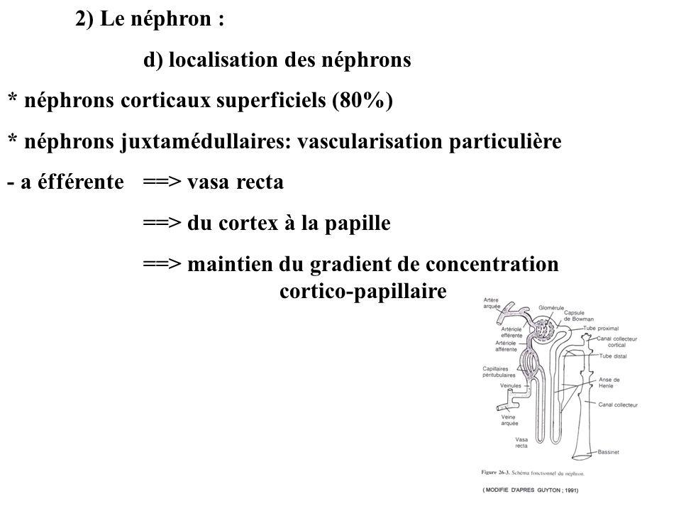2) Le néphron : d) localisation des néphrons. * néphrons corticaux superficiels (80%) * néphrons juxtamédullaires: vascularisation particulière.
