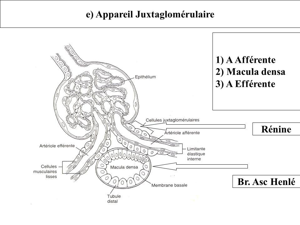 e) Appareil Juxtaglomérulaire