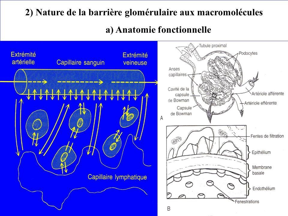 2) Nature de la barrière glomérulaire aux macromolécules