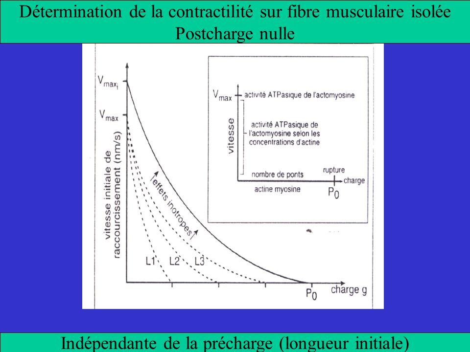Détermination de la contractilité sur fibre musculaire isolée