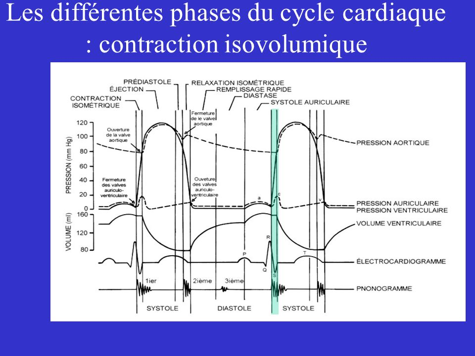 Les différentes phases du cycle cardiaque : contraction isovolumique
