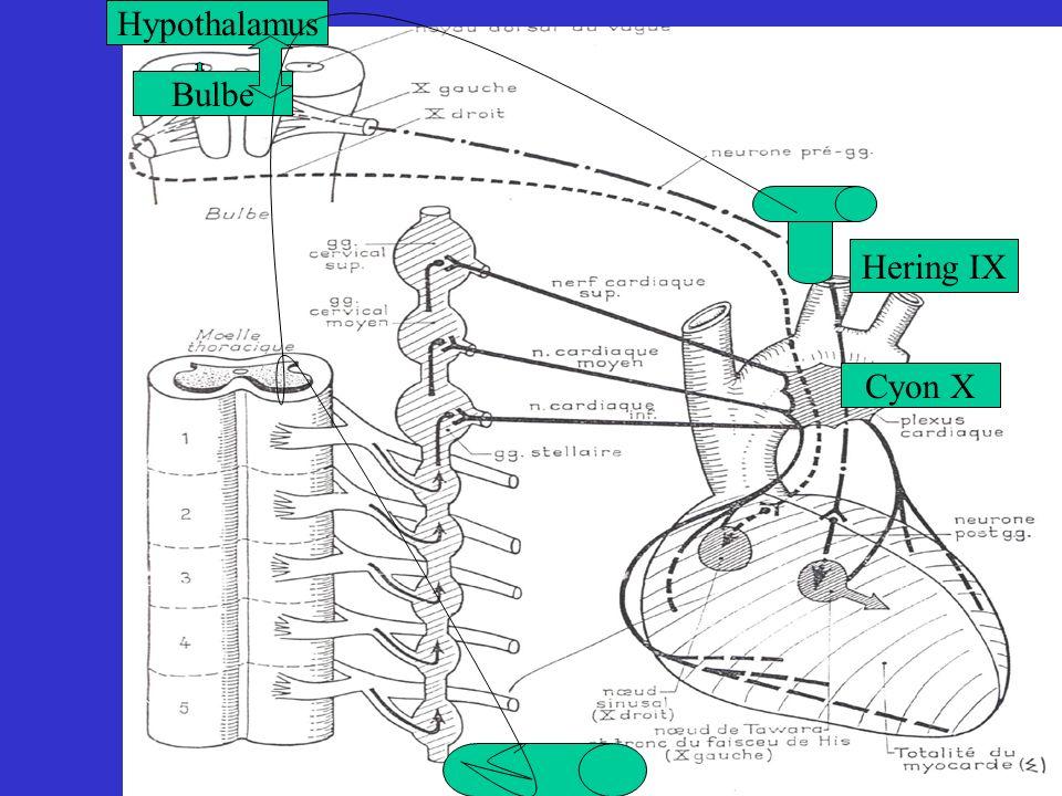Hypothalamus Bulbe Hering IX Cyon X