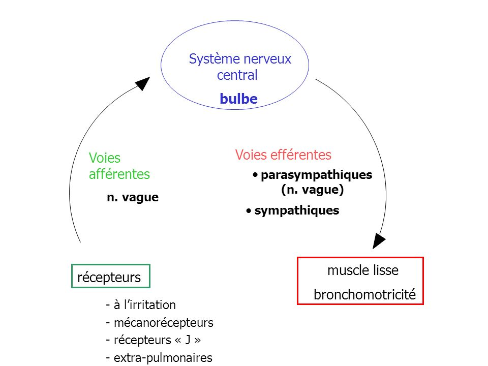 récepteurs Voies afférentes Système nerveux central bulbe
