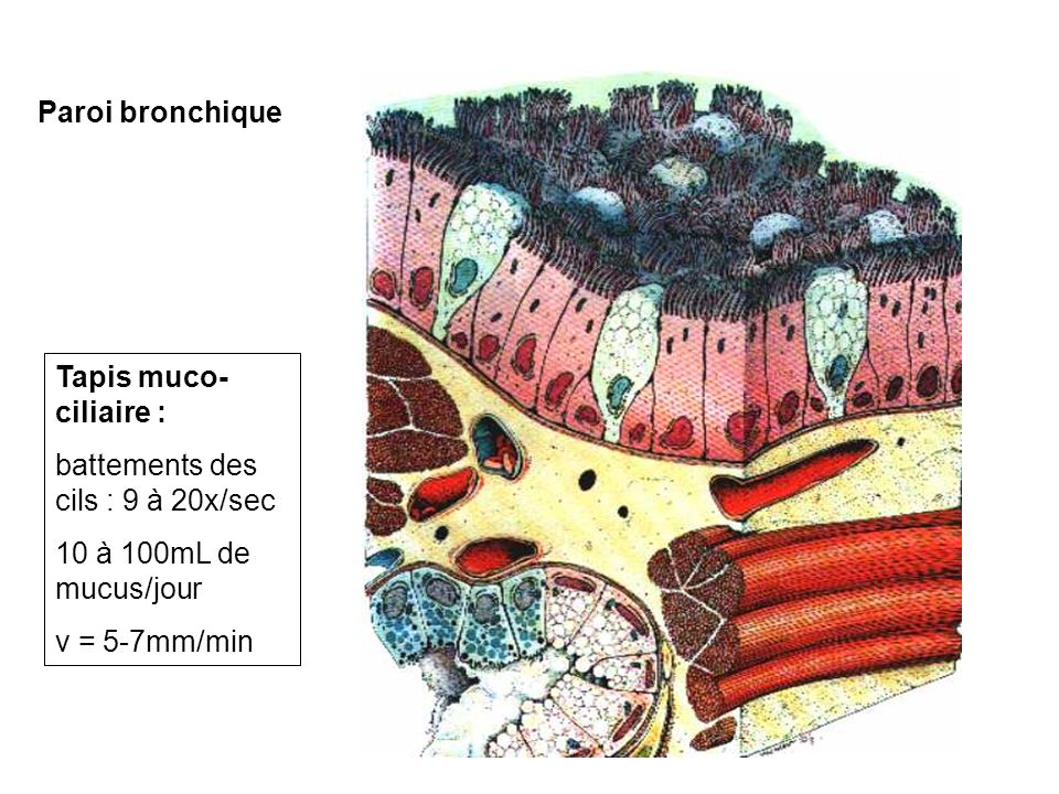 Paroi bronchique Tapis muco-ciliaire : battements des cils : 9 à 20x/sec. 10 à 100mL de mucus/jour.