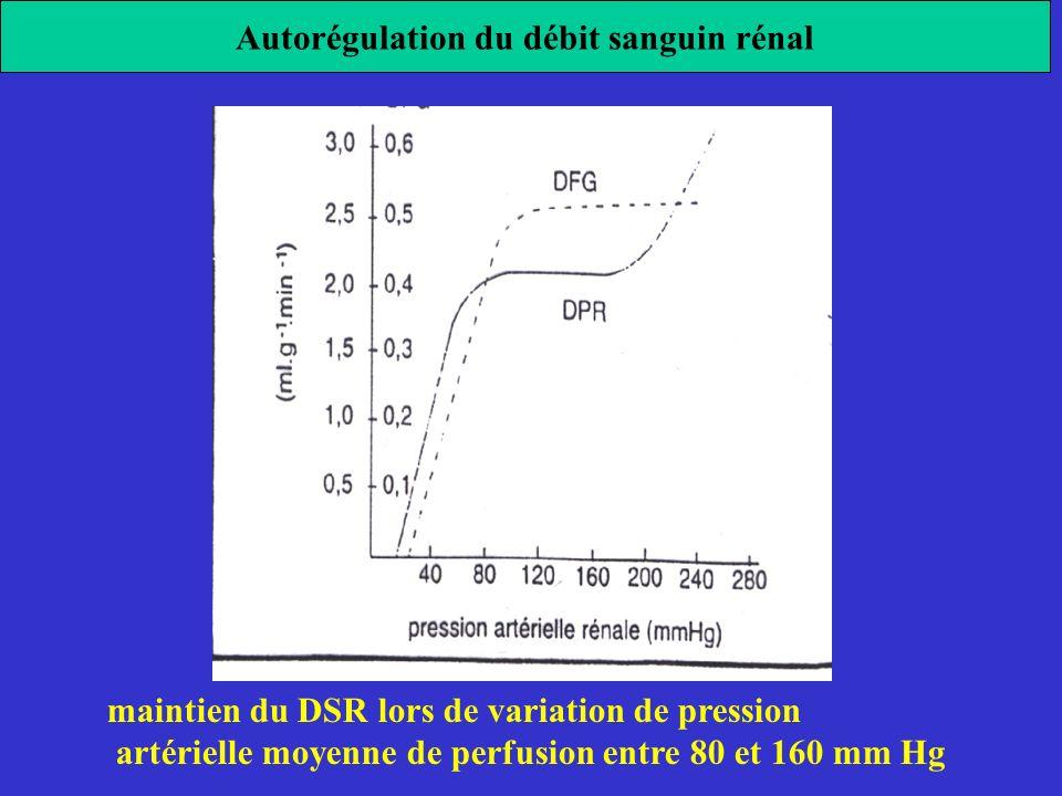 Autorégulation du débit sanguin rénal