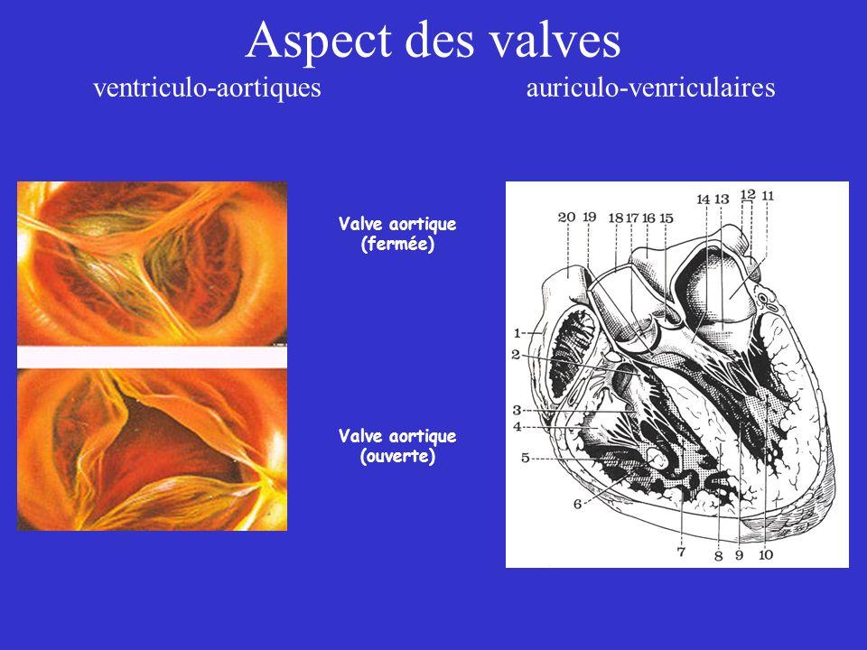 Aspect des valves ventriculo-aortiques auriculo-venriculaires