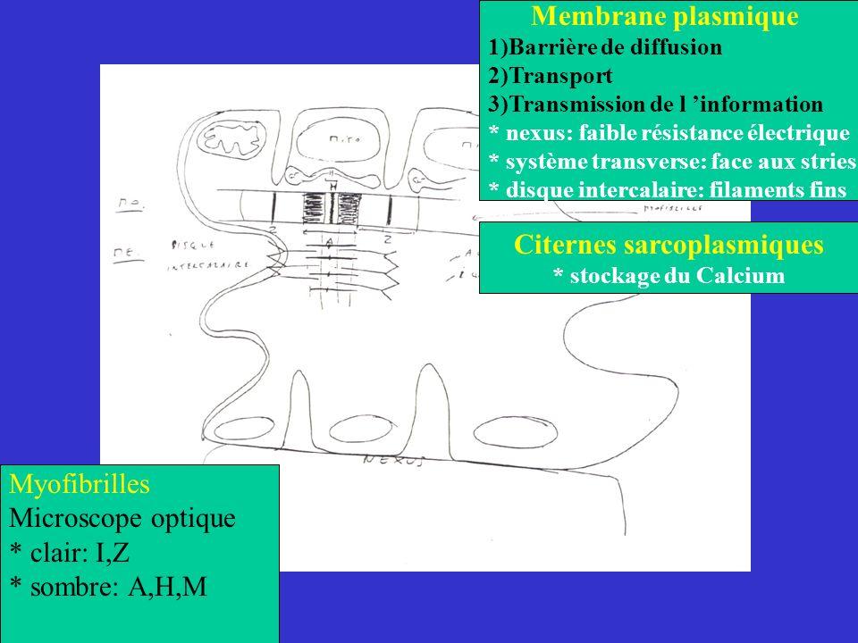 Citernes sarcoplasmiques