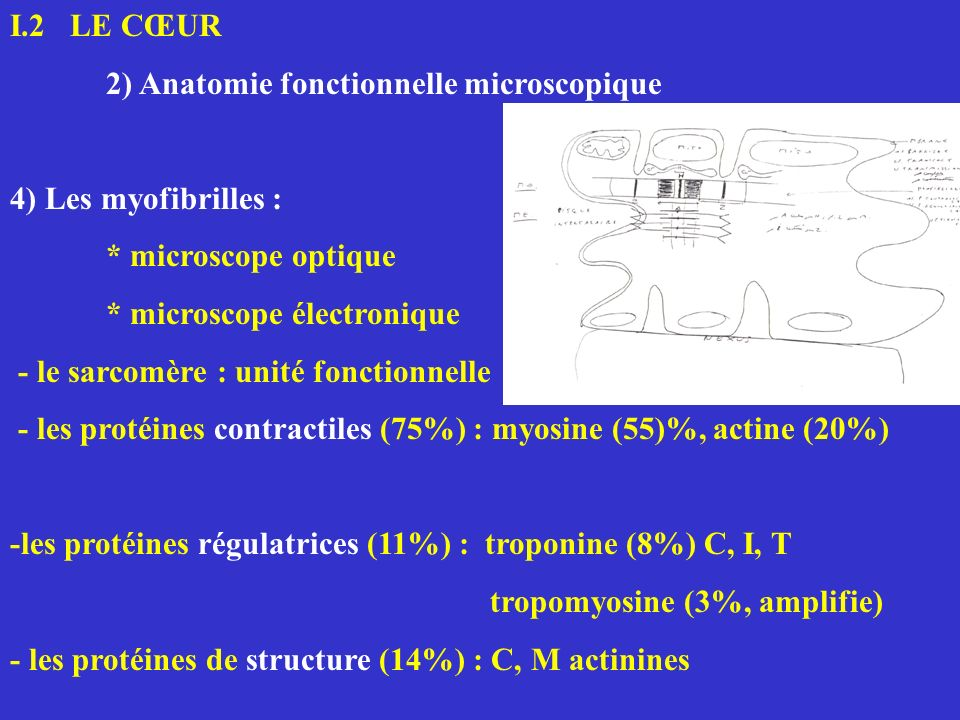 I.2 LE CŒUR 2) Anatomie fonctionnelle microscopique. 4) Les myofibrilles : * microscope optique.