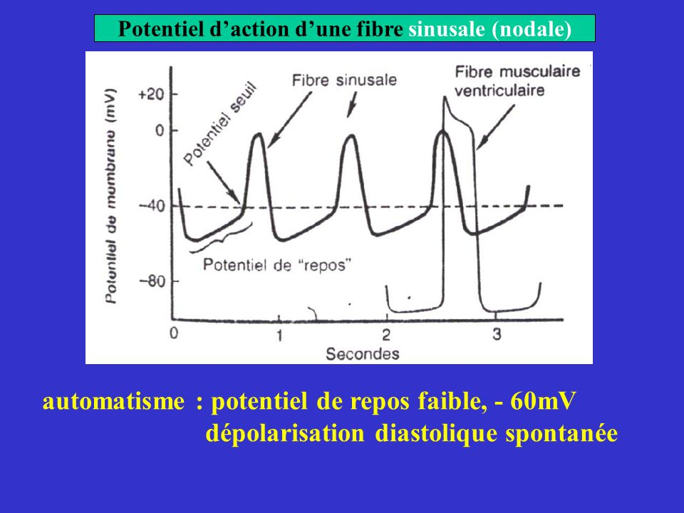 Potentiel d'action d'une fibre sinusale (nodale)
