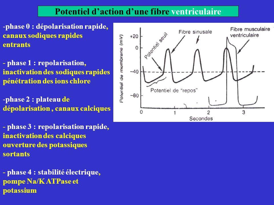 Potentiel d'action d'une fibre ventriculaire