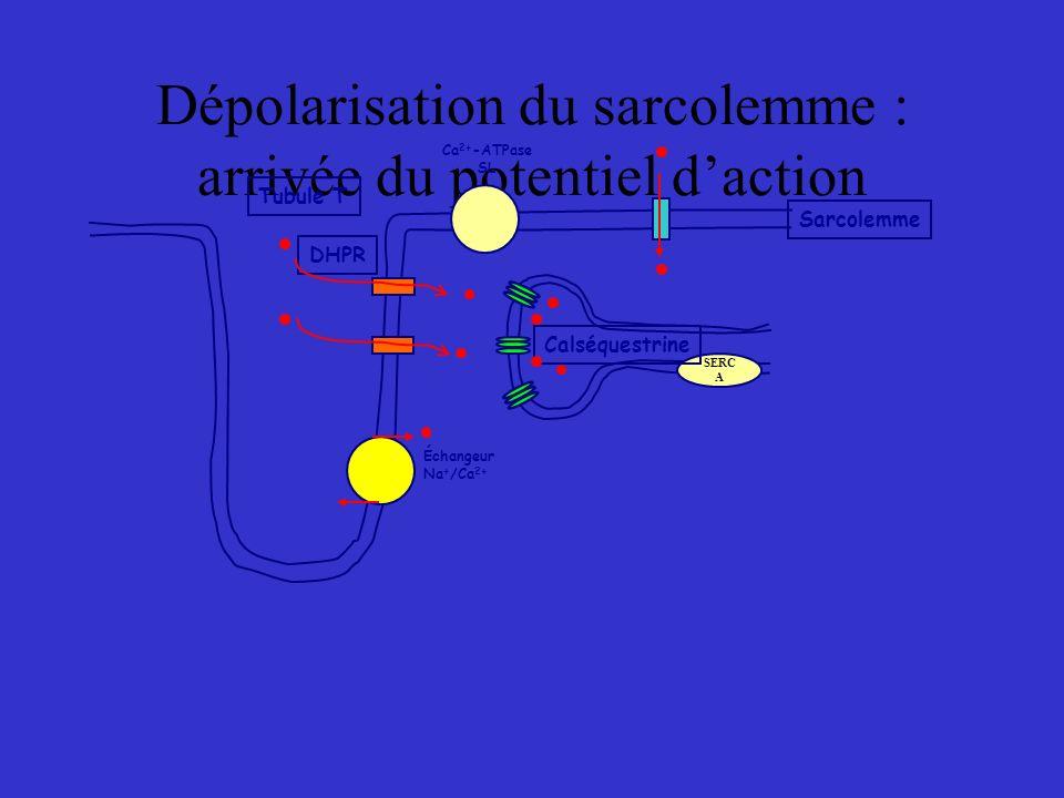 Dépolarisation du sarcolemme : arrivée du potentiel d'action