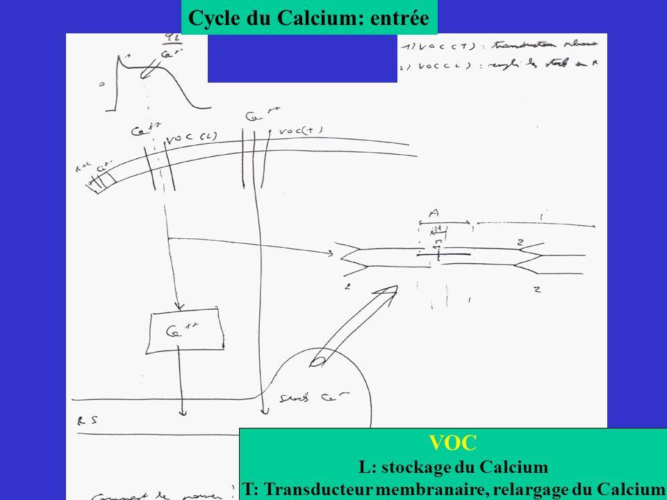T: Transducteur membranaire, relargage du Calcium