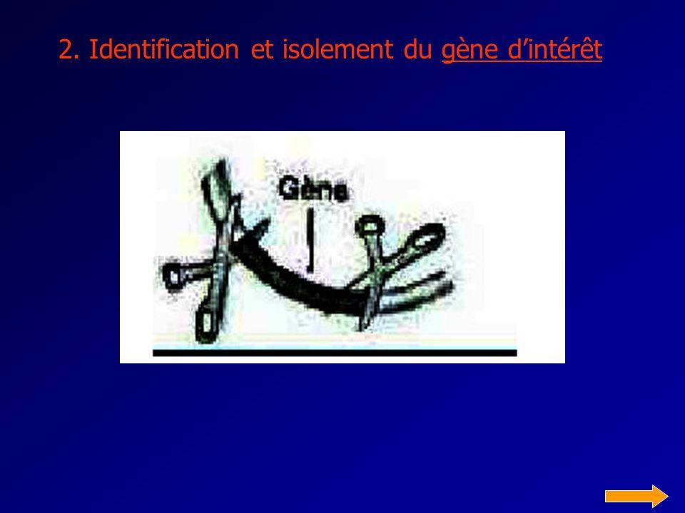 2. Identification et isolement du gène d'intérêt