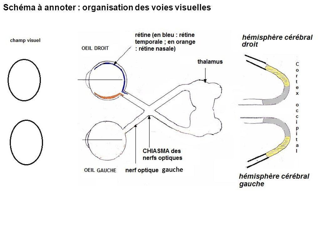 Schéma à annoter : organisation des voies visuelles