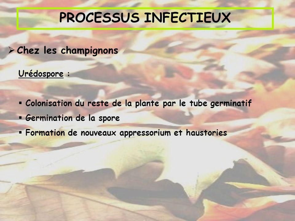 PROCESSUS INFECTIEUX Chez les champignons Urédospore :