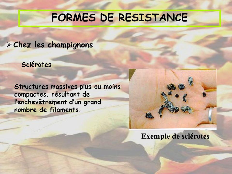 FORMES DE RESISTANCE Chez les champignons Exemple de sclérotes