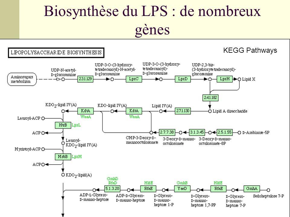 Biosynthèse du LPS : de nombreux gènes