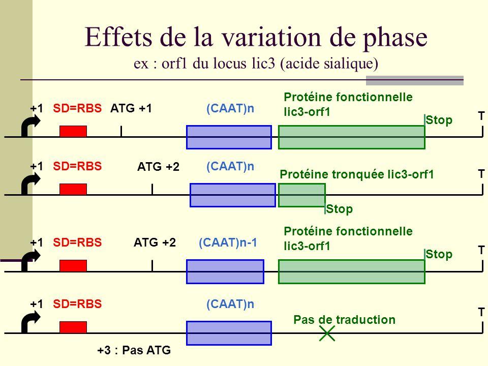 Effets de la variation de phase ex : orf1 du locus lic3 (acide sialique)